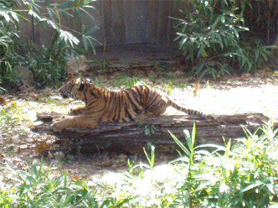 Baby tiger was showing the log who's boss