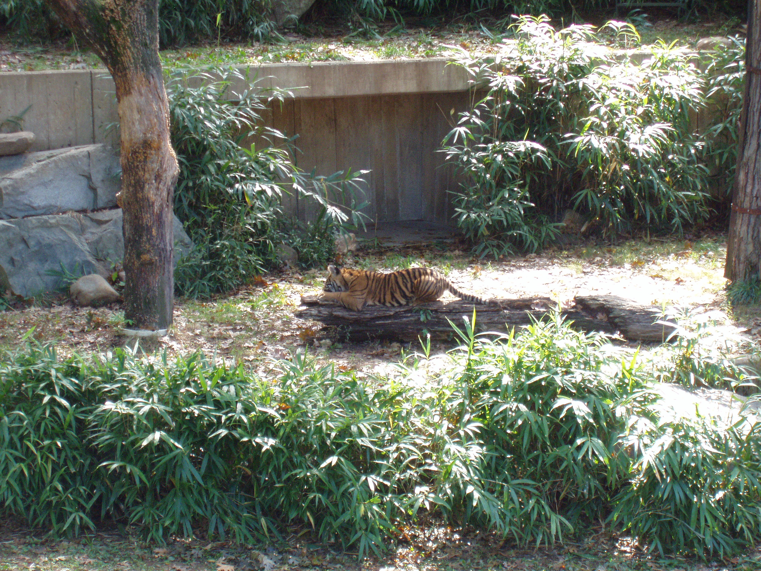 The little tiger is really getting stuck into that log