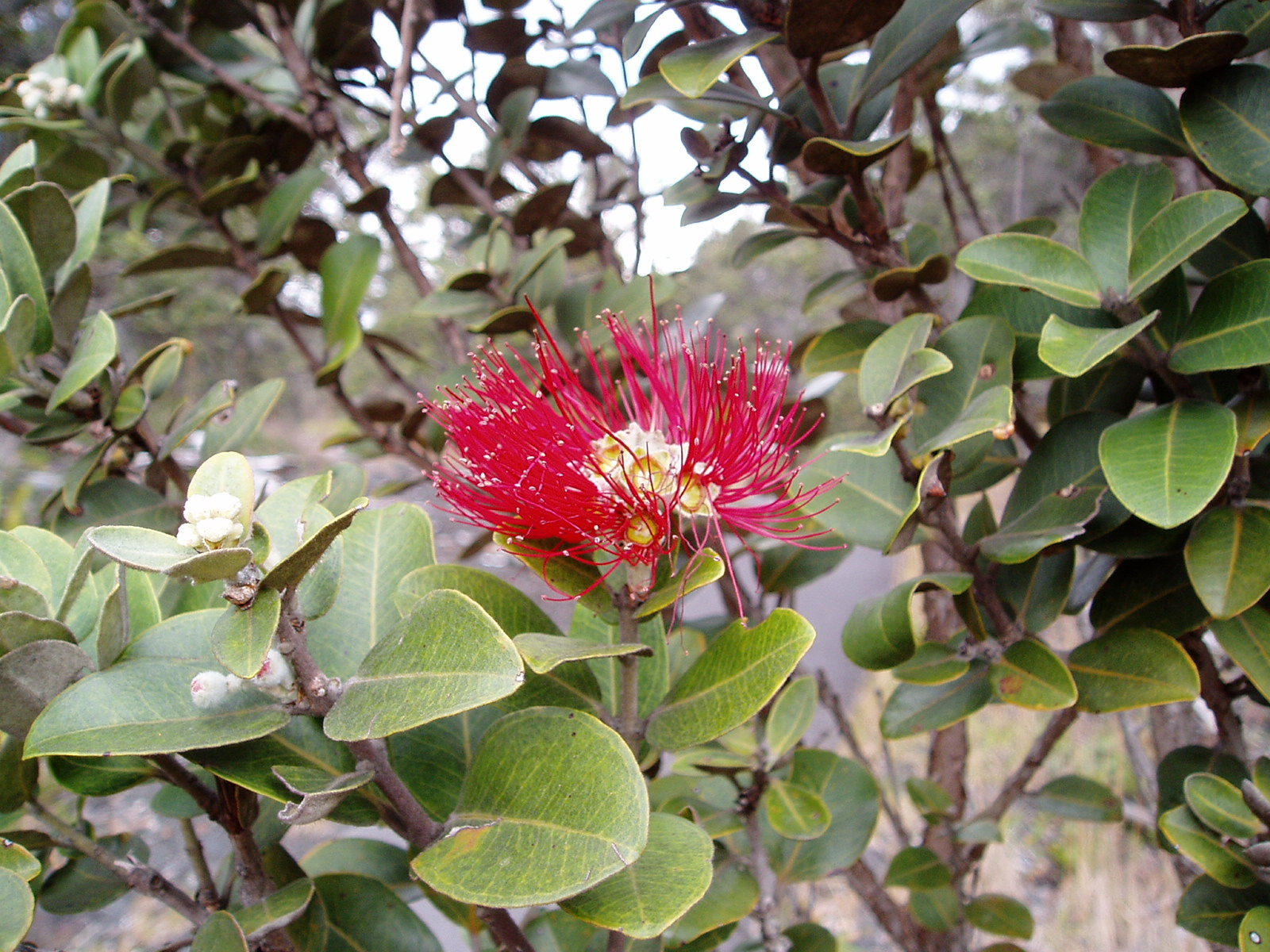 Hawaiian bottle brush