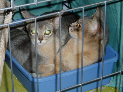 Hello. We're also Abyssinian kitties.