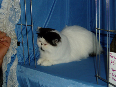 Hello. I'm a Black and White Persian kitten. I quite enjoy showing off at cat shows.