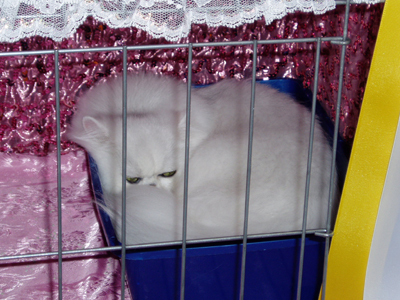 Hello. I'm a Chinchilla Persian. CFA describes my breed as exquisite and ethereal.