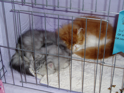 Hello. We're Grey and Orange Persian kittens. We've also been working hard on being cute. Actually, that's not true. We're so naturally adorable that it's easy!