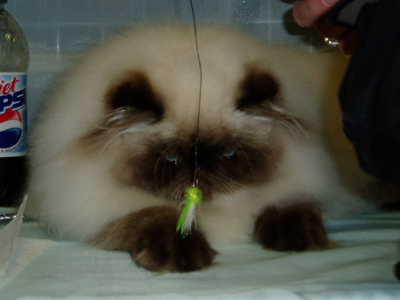 Hello. I'm a Himalayan Persian. Like all kitties, I love to chase feathery things dangled in front of me.