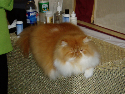 Hello. I'm an Orange and White Persian