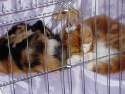 Hello. We're Tortie and Orange Persian Kittens. We're just babies and all this show stuff has tired us out.
